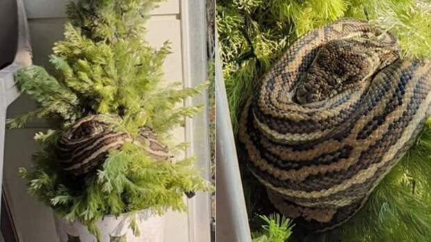 Трехметровый питон уснул на елке в Австралии