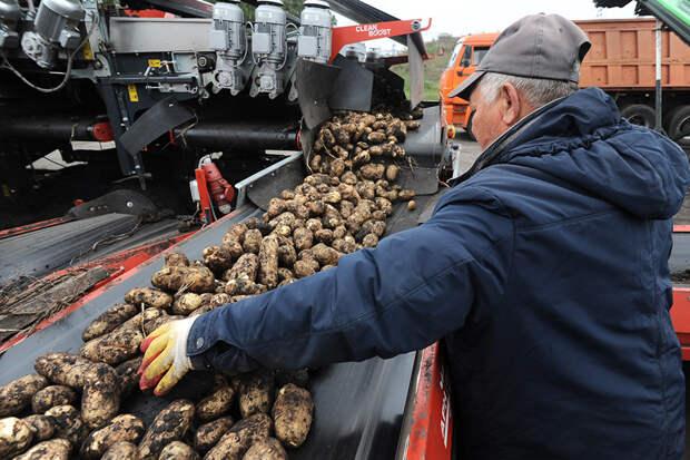 Урожай картофеля оказался под угрозой из-за дождей