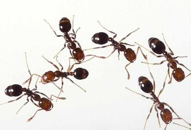Запах актинобактерий подсказал муравьям благоприятное место для колонии