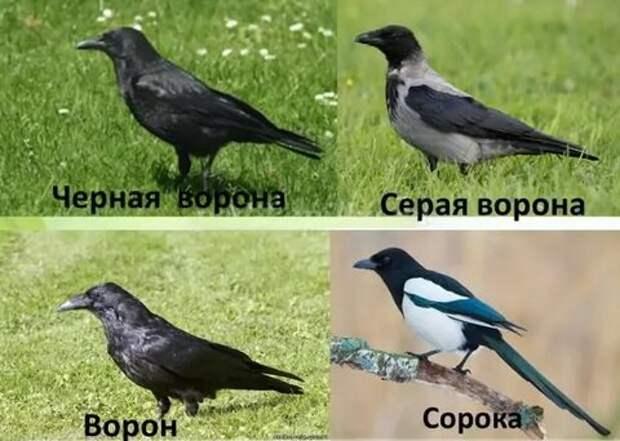 voron_vorona.bmp