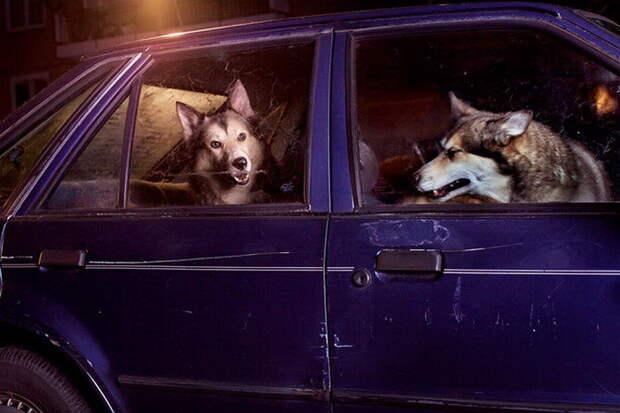 40 собак, ждущих хозяев в машине  машина, ожидание, собака