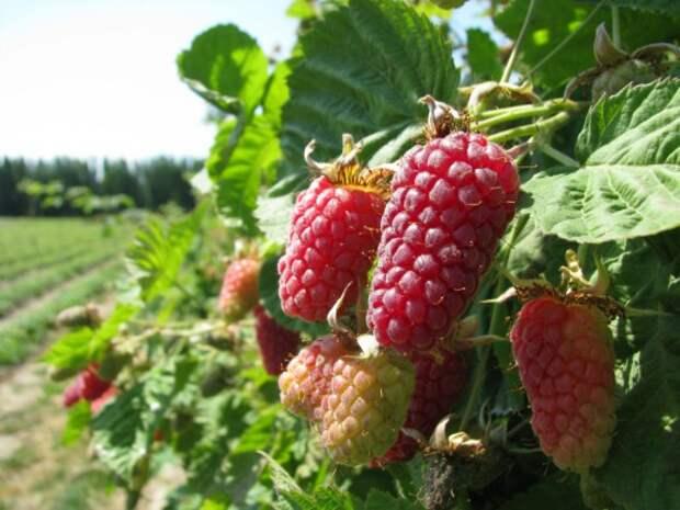 Логанберри, Логанова ягода, или ягода Логана (Loganberry)