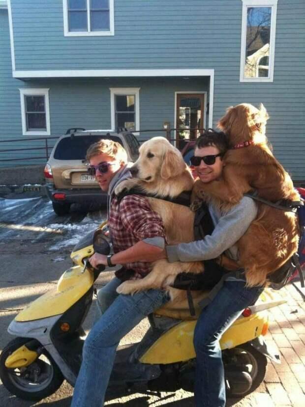 Собаки на мопеде