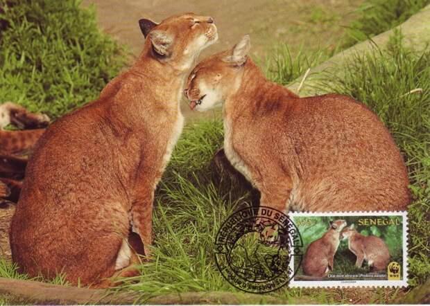 26 великолепных кошек, исчезающих из дикой природы кошки, природа
