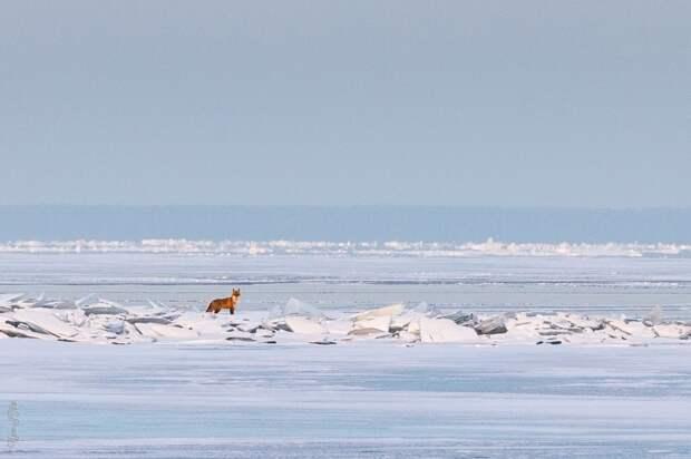 Лиса на льду Финского залива у Кронштадта