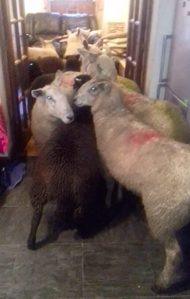 Sheepdog puppy herds entire flock into owner's kitchen