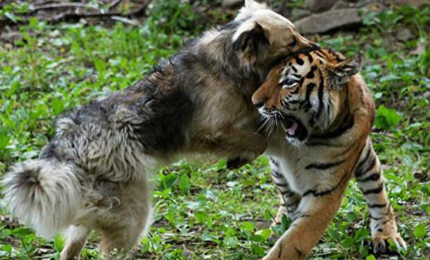 Хищник подружился с собакой