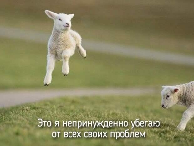 это я как овца