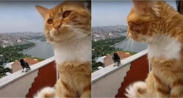 Автор видео стал свидетелем смешного диалога своего кота и прилетевшей вороны