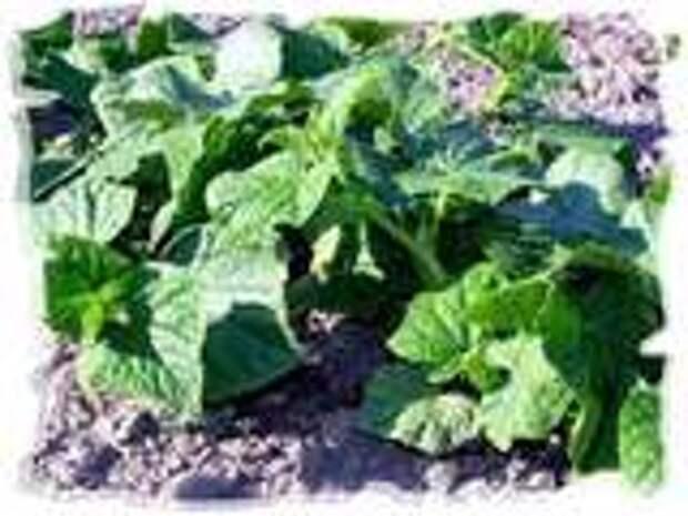 Секреты выращивания огурцов на вашем участке