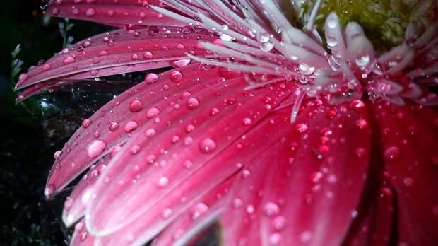 Обои капли, роса, макро, Розовый 315460 / Раздел: Цветы / HallPic.ru