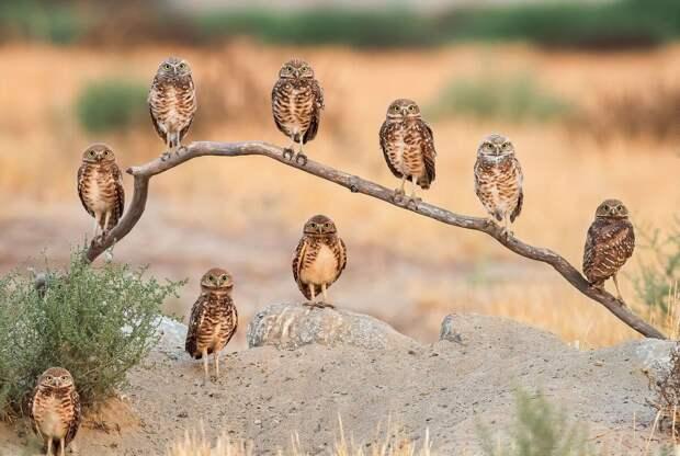 Роющие совы. Фото: Эндрю Ли