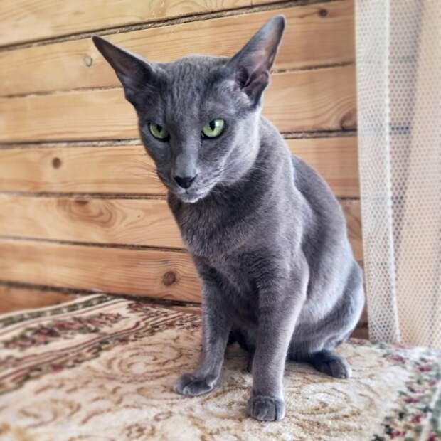 Кира ласкова только с котом Тишей. Этим она отличается от большинства ориенталов. Но меня это полностью устраивает.