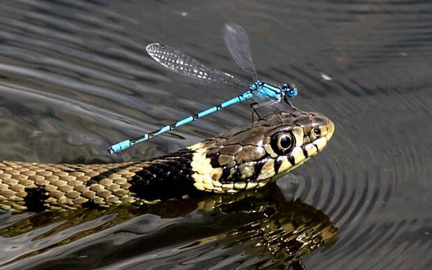 Ленивая стрекоза плывет на змее по пруду
