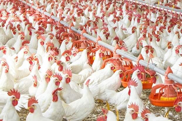 «Куриная матрица» — будет ли такой способ выращивания животных более гуманным?