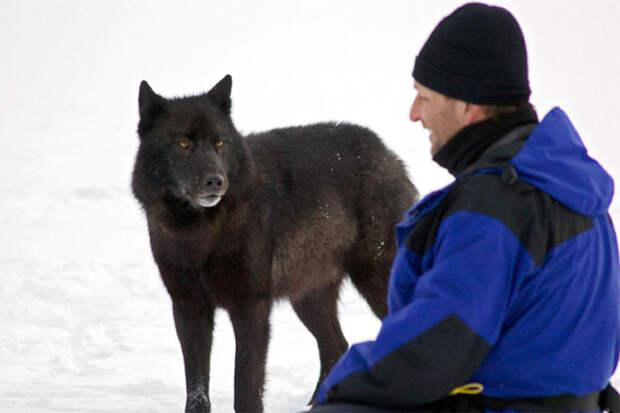 Волк вышел из леса и подошел к собаке вплотную. Хозяину оставалось лишь наблюдать их контакт