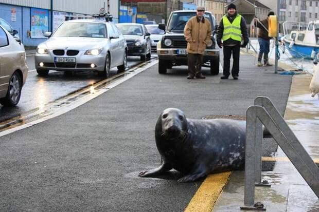 Тюлень каждый день выходит на сушу, чтобы посетить любимый ресторан с морепродуктами