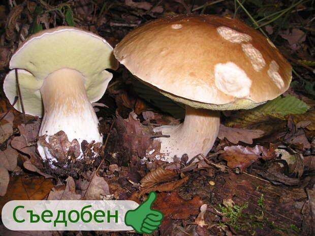 Белый гриб гриб, грибы