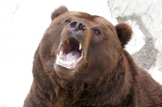 Медведь в заточении. В подвале одного из сургутских предприятий оказалось несчастное животное