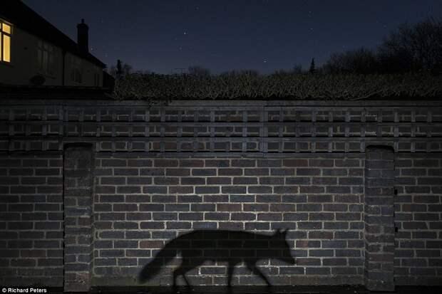 Тень лисы