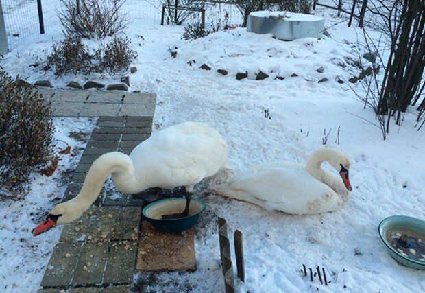 лебеди во дворе