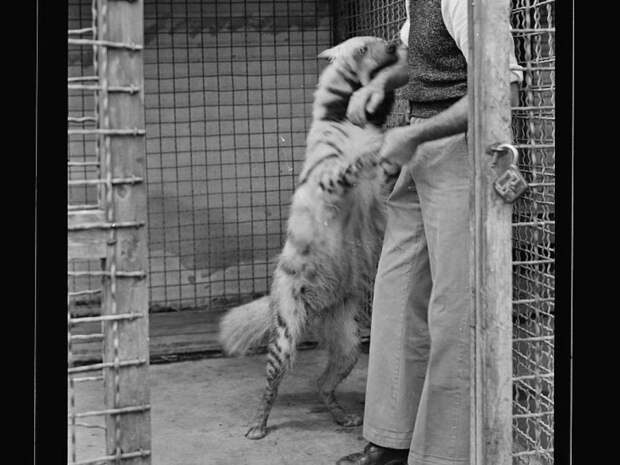 17. Гиена и смотритель животные, зоопарк