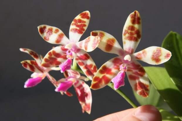 Орхидея фаленопсис mariae