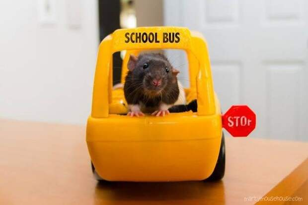 Например, они не умеют водить школьный автобус животные, крыса, милота, позитив