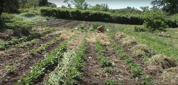 Посадка картофеля без окучивания вразвал. Богатый урожай и экономия сил