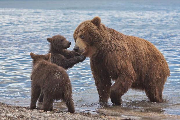 Медвежата Курильского озера животные, камчатка, медведь, озеро, природа