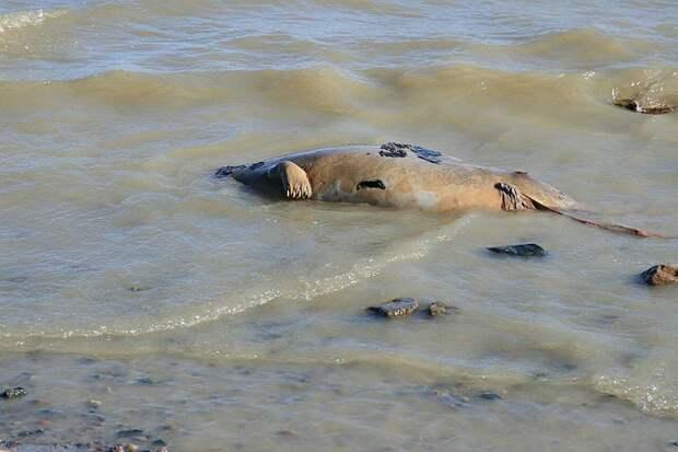 """14 апреля обнаружили мёртвого тюленя в районе яхт-клуба """"Кошкинский фарватер"""" на Ладожском озере Фото: СОЦСЕТИ"""