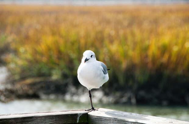 Почему некоторые птицы стоят на одной ноге?