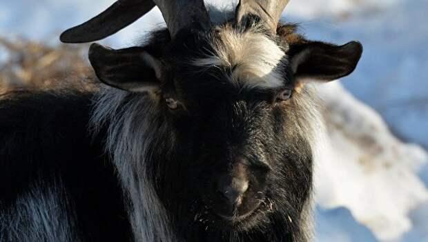 Невестой козла Тимура может стать подмосковная коза по кличке Меркель