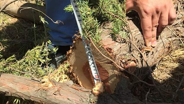Два крымчанина уничтожили можжевельника на 4 года тюрьмы