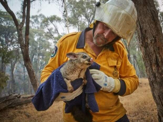 Спасенный от пожара поссум и кенгуру, которого спасти не удалось. Фото: Kiran Ridley / Greenpeace