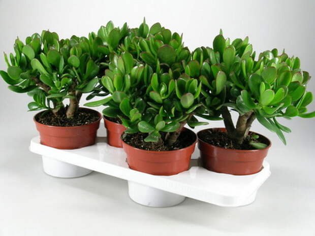 Чтобы сформировать у денежного дерева пышную крону красивой формы, нужно прищипывать ветки над третьей или четвертой парой листьев