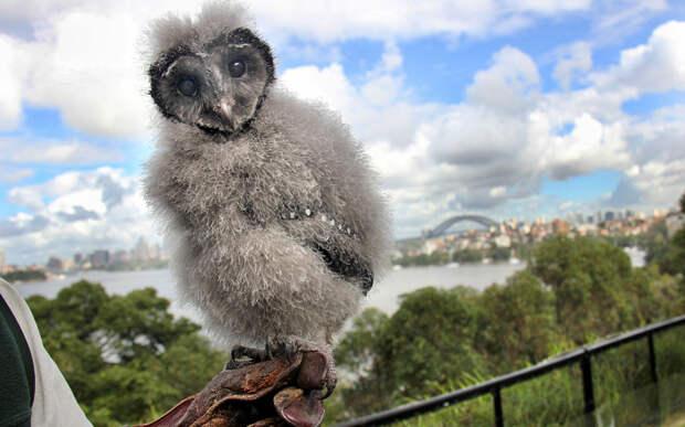 Ты кто? Совенок в зоопарке Таронга в Сиднее. животные, жизнь, позитив, эмоции