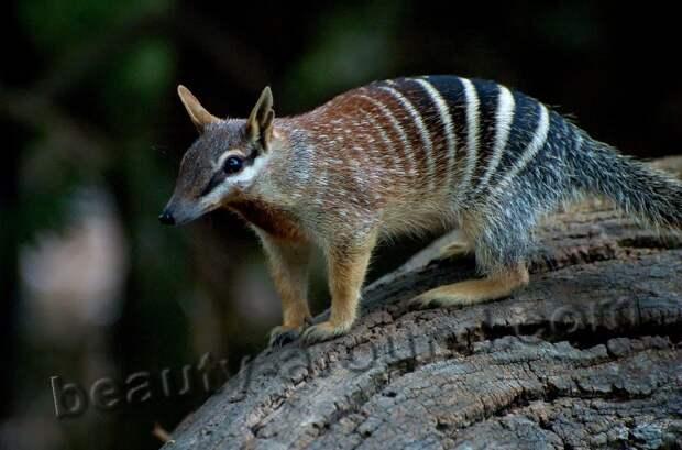 Сумчатый муравьед - сумчатое животное Австралии, австралийское животное