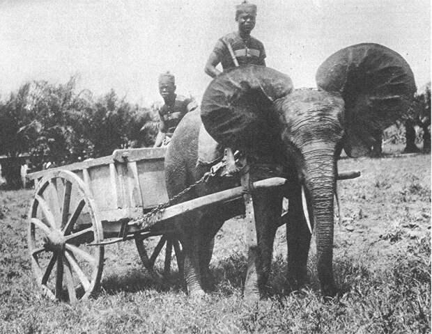 elephant domestiqsue.jpg