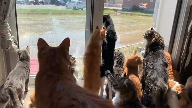 Никто так не интересует японских кошек, как сосед, возделывающий рисовое поле животные, кафе, кот, кошка, наблюдение, окно, фермер, япония