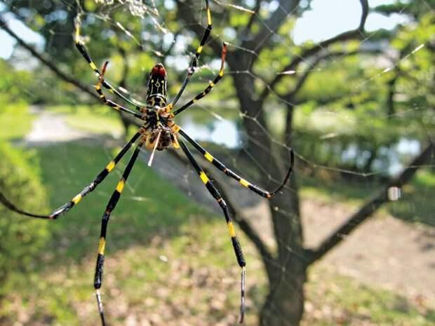 В американском штате Джорджия появились азиатские желто-синие пауки