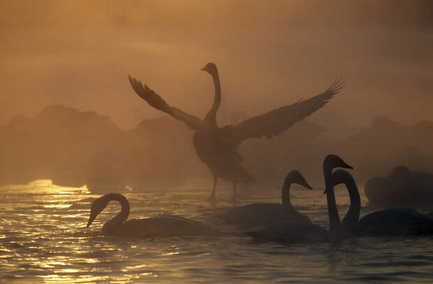 Лебеди на озере в селе Урожайное, Алтайский край