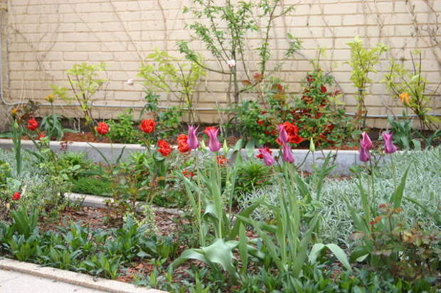 Лилиецветные тюльпаны в миксбордере