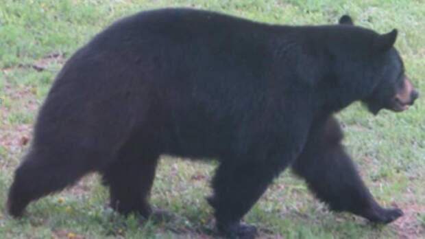 В пекарню пробрался медведь и «схомячил» 38 пирогов еда, медведь