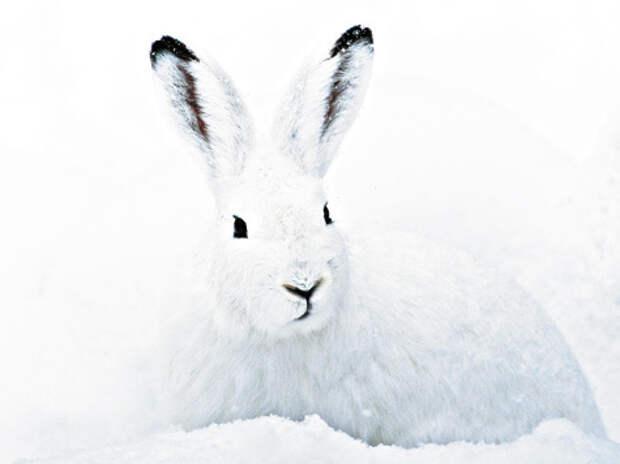 Черные кончики ушей беляка часто выдают его на фоне снега.