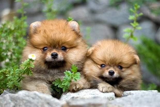 Щенки померанского шпица, фото собаки, фотография породы собак