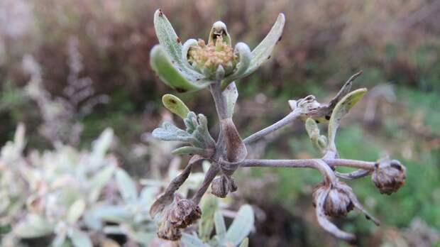 Обнаружено подавляющее коронавирус растение