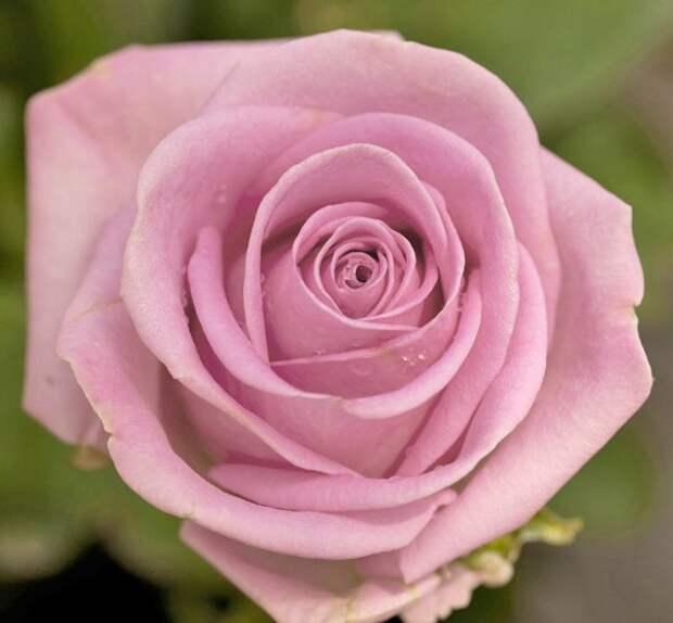 10 самых нежных сортов роз