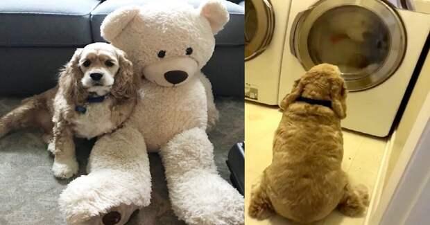 Преданный песик не сводил глаз со стиральной машинки, в которой стирали его обожаемую игрушку!