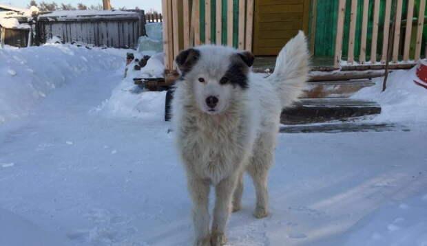 В Якутском селе пес спас женщину от нападения бродячих собак